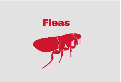 Flea Killing